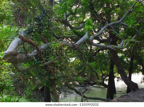 Trees Vedanthangal Bird Sanctuary Tamil Nadu Stock Photo