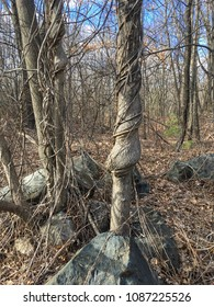 Trees with vines and rocks in wooded area in New England on sunny day.