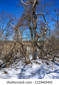 Trees and vines in winter