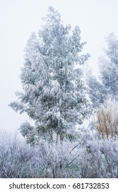 Trees in winter. Eucalyptus gunnii in winter under the hoarfrost. (France - Centre-Val-de-Loire)
