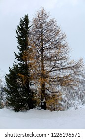 Trees in a winter landscape with snow in fall, Graubünden, Switzerland
