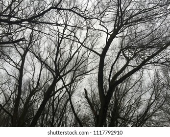 Trees in winter. Silhouete.