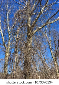Trees without leaves in early spring in New England