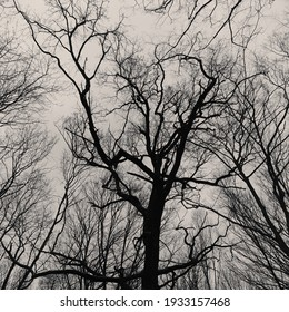 Trees without leaves. Tree branches on a gray background. Seasonal change of weather. Black and white photo.