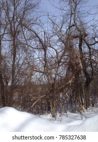 Trees in woods with snow in winter