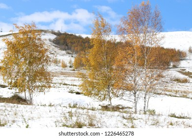 trees with yellow foliage on a snowy background
