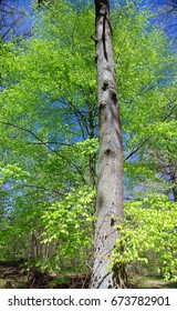 Trees with young leaves in april
