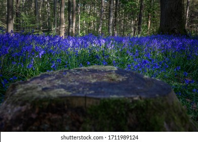 A treestump in the company of a carpet of bluebells in Watford's Whippendell Woods.