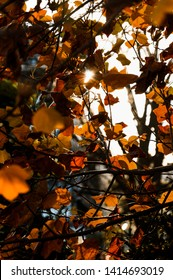 Treetop in autumn, orange leaves on tree with sun in background.