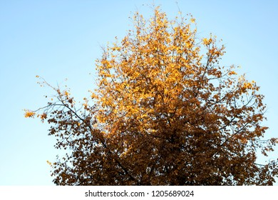 Treetop with autumn yellow leaves on blue sky background