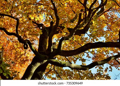 treetop of a beech by a sunny day in autumn