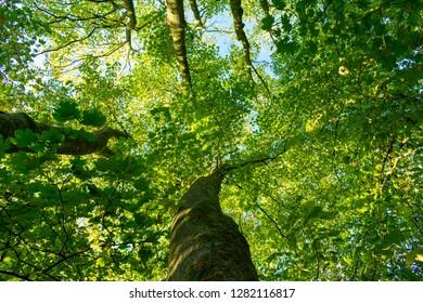 Treetop from below. Location: Germany, North Rhine-Westphalia, Hoxfeld