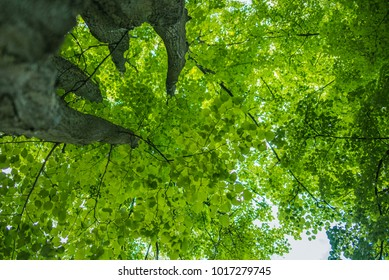 Treetop, canopy, crown of the tree. Forest, food branch and green foliage. Outdoor nature park landscape background. Sun in the sky in summer. Sunny environment.