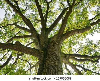 treetop oak