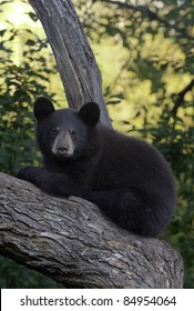 Treetop View.  A brown variant of the black bear (Ursus Americanus) takes in the view from the branches of a large tree.  Cubs often climb trees for safety.