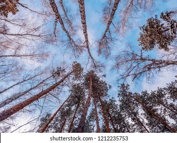 Treetops against a blue sky. birch without leaves and pine with green needles. natural landscape. late autumn and early winter.