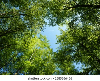 Treetops of beech trees in spring, with airplane in the blue sky. Blue sky in the middle of the picture.