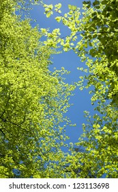 treetops of beech trees in spring, view from bottom up, against blue sky