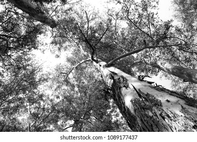 Treetops in black and white