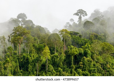 Treetops of Dense Tropical Rainforest With Morning Fog Located Near The Malaysia-Kalimantan Border