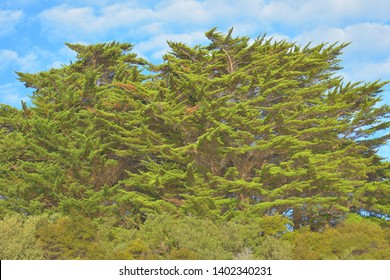 Treetops of large pine trees on sunny day in highly saturated colors and low contrast.