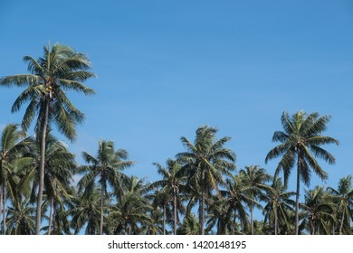 treetops of palm trees at coconut plantation at sunny day with blue sky