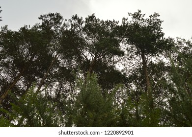 Treetops Of A Pine Forest. Nature, Animals, Landscapes, Travel. August 2, 2018. Rebedul, Lugo, Galicia, Spain.