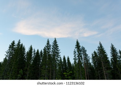 Treetops and sky at summer dawn