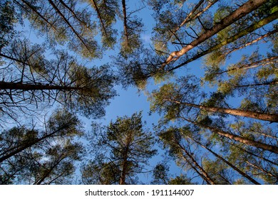 The treetops of spruce trees with blue sky.Nature, environment, ecology and forestry.