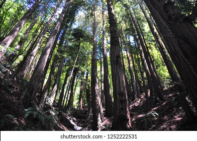 I am treking in the middle of Pine wood, San Francisco