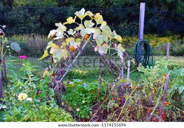Trellis in the Garden with Pumpkins