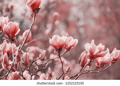 Trend photography on the theme of the new color of the year 2019 - Living Coral. Spring magnolia flowers on the natural background.