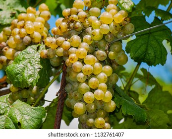 Trentino viticulture is linked to the pergola which is still the most widespread method. Born in Trentino, it guarantees an adequate sun exposure to the vines, cultivated on sloping land