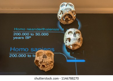TRENTO, Italy - april 2018:a cast of the Homo Sapiens and a cast of the homo Homo neanderthalensis skull in the expositive interactive space of the famous Science Museum denominate MUSE, Trento, Italy