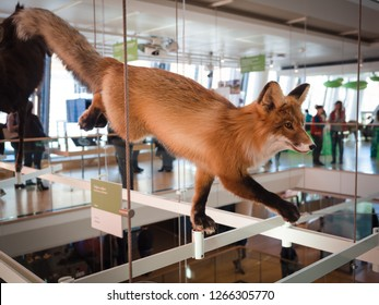 Trento, Italy - November 19, 2017: Embalmed fox exposed in museum of natural sciences.