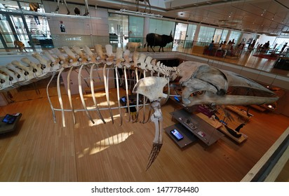 Trento/Italy - 08/04/2019: exposition of dinosaur skeletons and prehistoric animals inside the MUSE, the Science Museum of Trento