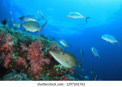 Trevally fish on coral reef