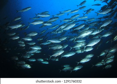 Trevally fish in Thailand