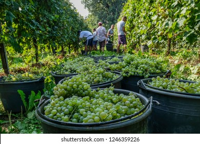 TREVISO, ITALY - SEPTEMBER 19: A view of the vineyard of Prosecco grapes is seen during the harvest on September 19, 2018 in Treviso, Italy. In 2019