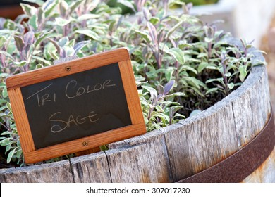 Tri Color Sage plant growing in a weathered wooden barrel with a chalk board identifying sign.