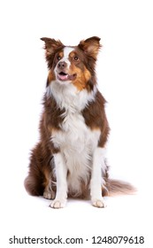 Tri colour border collie sitting in front of a white background