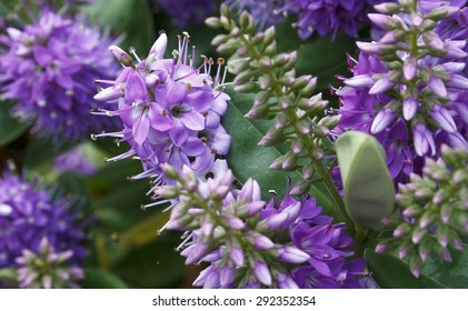 triaca (Veronica officinalis spring, background, flowers, flower, nature, floral, garden, summer, beautiful, landscape, pink, blossom, white, tree, green, sun, field, season, beauty, natural, plant,