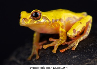Triangle treefrog (Dendropsophus triangulum)