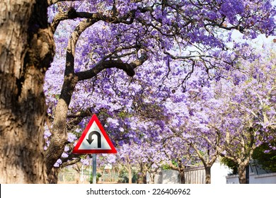 Triangular road sign indicating U-turn in road against beautiful purple flowers of blossoming jacaranda trees