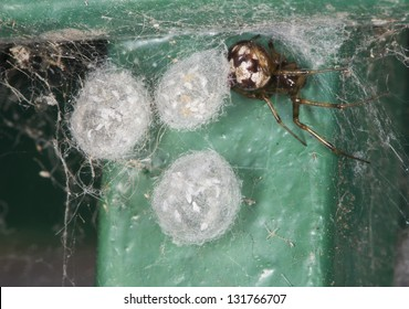 Triangulate Cobweb or Comb-Foot spider (Steatoda triangulosa) with three egg sacs.