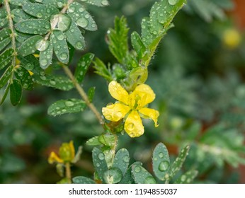 Tribulus terrestris is an annual plant in the caltrop family (Zygophyllaceae) widely distributed around the world, that is adapted to grow in dry climate