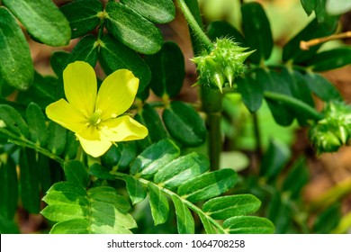 Tribulus terrestris (Bindii, Puncture, Caltrop, Devil) ; A colorful weeds plant. The yellow full bloom flower. Surrounded by small green leaves. the round fruits with thorn, spike & sharp like a bomb.