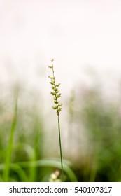Tribulus terrestris Linn with blurred background