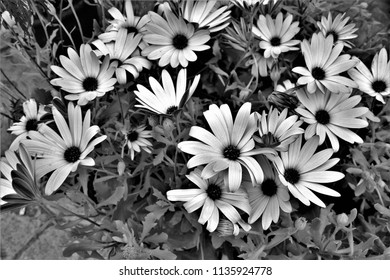 tribute to Ansel Adams, black and white artistic photograph of large daisy flowers,