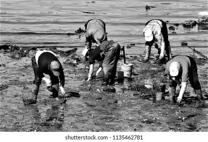tribute to Ansel Adams,women shellfishers, seafood seekers, collecting seafood, in the Ferrol estuary, A Coruña, Galicia, Spain, Europe, in search of clams, cockles in the mud. hard work, miserable,